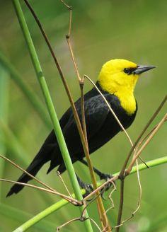 Chrysomus icterocephalus / Yellow-hooded Blackbird