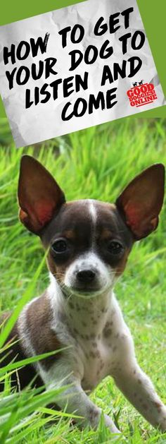 If your dog doesn't listen, check out these dog training tips on getting your dog to come when called and listen better. #dogs #listen #dogtraining via @KaufmannsPuppy