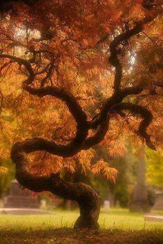 Glorious Wind shaped Autumn Maple / Giant Bonsai