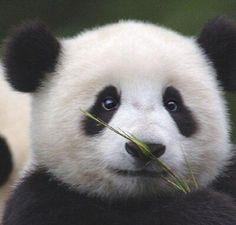 판다 쿵푸팬더  Panda    kung fu Panda ❤️