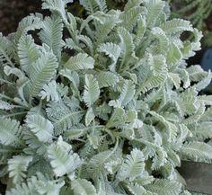 Tanacetum densum ssp. amani aka 'Beth Chatto'