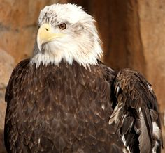 Click this picture of Grace to learn more about the Bald Eagle at the Texas State Aquarium!
