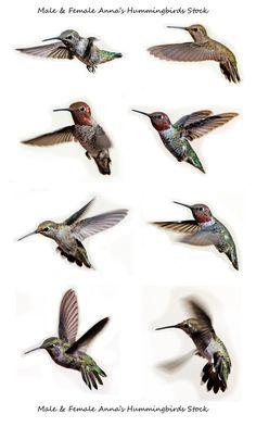 Hummingbird poses stock by *kayaksailor on deviantART