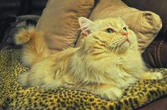 Elliott Cream Mink Male Ragdoll - Ragdoll Cat for Sale - from www.RagdollKittens.com