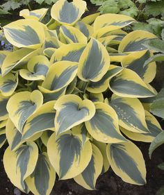 This striking Hosta forms a medium sized mound of showy, frosty blue leaves with extra wide, bright yellow margins. The margins lighten to creamy white and light lavender flowers are produced in summer. Hardy to zone 3.