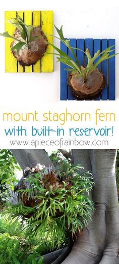 Bring nature and a bohemian vibe to a room with beautiful wall mounted Staghorn fern! Easy to grow and huge impact! Tutorial includes secret reservoir! -A Piece of Rainbow blog