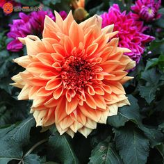 10 Pieces / Lot Beautiful Orange Dahlia Flower Seeds Courtyard and Garden Potted Ornamental Plants-in Bonsai from Home & Garden on Aliexpress.com | Alibaba Group