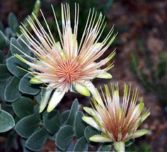 Garden Flowers - Annuals Or Perennials Protea Pretty Flowers, Pink Flowers, Weathering And Erosion, Australian Native Flowers, Plant Fungus, Nature Color Palette, Fruit Seeds, Replant, Garden Trees