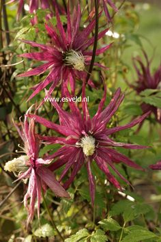 Clematis 'Zooct' (OCTOPUS) from Esveld