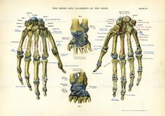 human-anatomy-bones-and-ligaments-of-the-hand-illustration-id516726411 (1024×724)