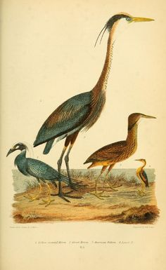 Herons, American Ornithology: The natural history of the birds of the United States, Alexander Wilson, Vol II, 1876.