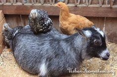 INTRODUCING NEW CHICKENS TO THE OLD FLOCK | Little Homestead in the City - the Urban Homestead Journal