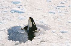 An Orca whale in the Ross Sea. Orcas, Le Morse, Parc A Theme, Especie Animal, Wale, Oceans Of The World, Great White Shark, Killer Whales, Sea World