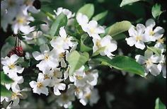 Click to view full-size photo of Firebird Flowering Crab (Malus sargentii 'Firebird') at Rice's Nursery