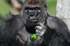 Kumbuka, a 15-year-old western lowland gorilla, holds a green pepper as he explores his new enclosure at the London Zoo on May 2, 2013.