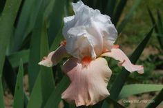 'Sugar Magnolia' tall bearded iris is so simple and beautiful. Photographed at Pleasants Valley Iris Farm