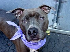 SAFE  9/7/13 Manhattan Center  CHOLE A0976227 SPAYED FEMALE, GRAY / WHITE, AM PIT BULL TER MIX, 2 yrs Blanch isn't only beautiful, but she has really great scores on her behavior evaluation, too, and she's available for direct adoption as well as adoption/foster through New Hope rescues. Don't let this beauty die tomorrow
