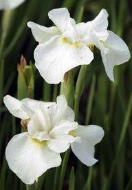 """""""Gull's Wing"""" Siberian Iris."""