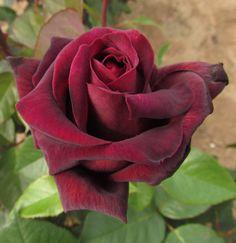 Hybrid Tea Rose 'Sealed with a Kiss'