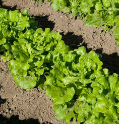Nevada Summer Crisp Lettuce by Johnny's Seeds