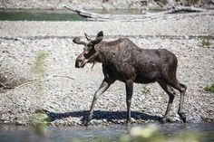 Moose in McDonald Creek, Glacier National Park, Montana - photo by Jacob W. Frank (pinned by haw-creek.com)