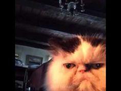 Cat says diabetes vine - YouTube