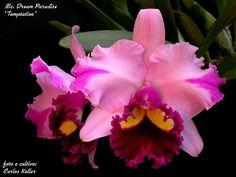 Orquídea Cattleya Blc. Dream Paradise ' Temptation ' - Tamanho 04