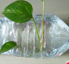 Come far crescere le piante in una bottiglia di plastica senza terriccio. Scopriamo come far crescere una bella pianta da appartamento che non ha bisogno di troppa luce, che non ha bisogno di troppe cure e che potremo vedere crescere rigogliosa tutto l'anno, senza terriccio, solo utilizzando una bottiglia di plastica, una piccola piantina senza radici e dell'acqua...