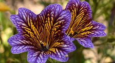 Salpiglossis in blue.