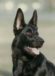 Black German Shepherd--My next dog.