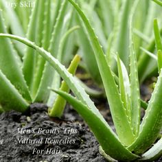 extrait de plante garcinia wikipedia