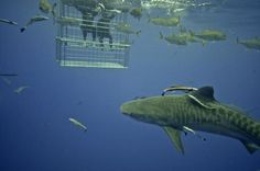 Image result for diving cage Creator Studio, Cage, Diving, Fish, Pets, Animals, Animales, Scuba Diving, Animaux