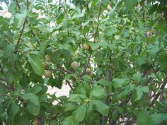 The Green Gage ( Prunus domestica ) is an European plum variety. European plums bloom later than Japanese or American - Hybrid types, and . Garden Animals, Plum Tree, Fruit Trees, Shrubs, Herbalism, Herbal Teas, Yard, Green, Plants
