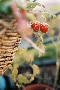 Find images and videos about nature, fruit and strawberry on We Heart It - the app to get lost in what you love. Vida Natural, Natural News, Strawberry Fields Forever, Wild Strawberries, Country Life, Country Living, Country Farm, Farm Life, Farm 2