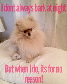 I don't always bark at night, but when I do it's for no reason.  #pomeranian pom puppy dog pet animal blog  Merle cream Black and Tan