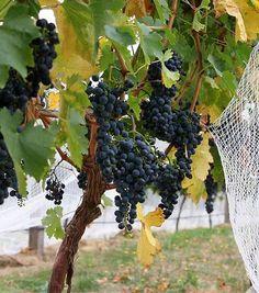Obecně platí, že réva plodí na letošních výhonech, vyrůstající z loňského prutu. Grape Trellis, Rv, Fruit, Vinifera, Gardening, Vine Yard, Father, Motorhome, Lawn And Garden