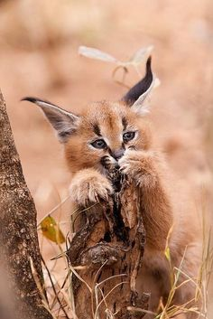 Supercute picture of a caracal kitten!