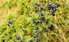 Bagan, Juniper Berry, Fruit Tea, Medicinal Herbs, Shrubs, Green Colors, Berries, Things To Come, Organic