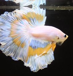 8 Pastel Betta Fish Lookin' Their Sunday Best for Easter | The Featured Creature