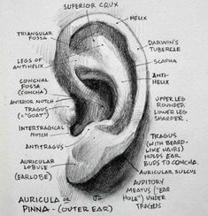 Everything about the ear I *didn't* learn in Figure Drawing Anatomy                                                                                                                                                                                 More