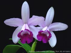 Rare Orchids Species | Details about Rare orchid species seedling - Cattleya intermedia var ...