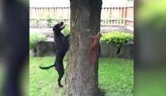Eichhörnchen vs. Jagdhund: Duell am Baumstamm