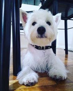 Tipo serio ... West Highland White, West Highland Terrier, White Terrier, Rainbow Bridge, Westies, Scottie, Cute Animals, Heart, Dogs