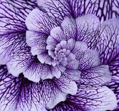 Lavender flower with purple veins #beautiful #flowers #garden