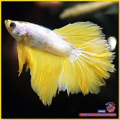 Live-Betta-Fish-Male-Mustard-Dragon-Rose-Tail-Halfmoon-HM-2663 / seller: momo_miniatures