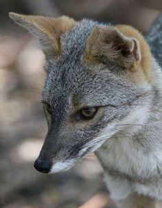 Sechuran Fox (Lycalopex sechurae) South America