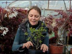 żywopłot z roślin liściastych