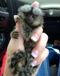 Adorable Finger Monkey