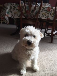 "handsomedogs: ""this is max! hes a 14 year old schnauzer/bichon mix!"""