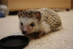 Little Hedgehog | Cutest Paw